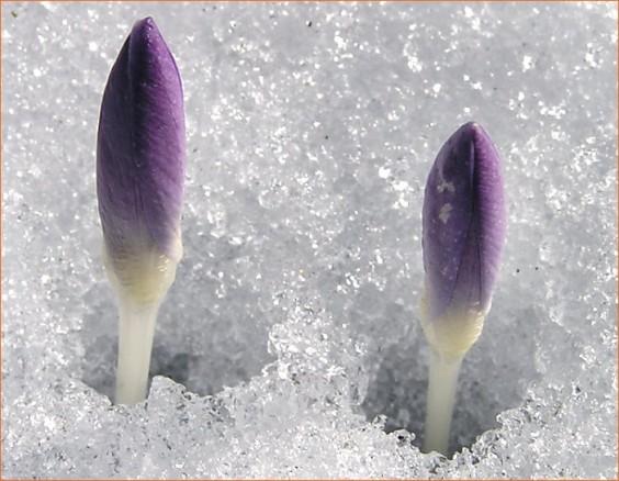 perce_neige