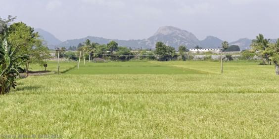 Rizière, Tamil Nadu, Inde